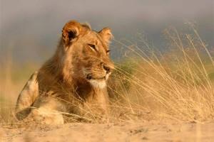 Goliath-Lion
